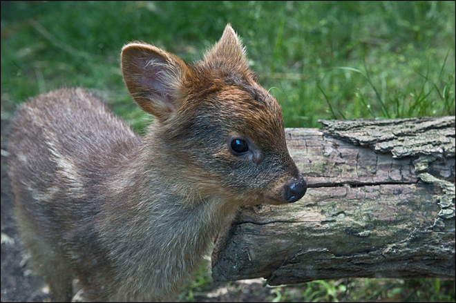 New York zoo welcomes tiny baby pudu