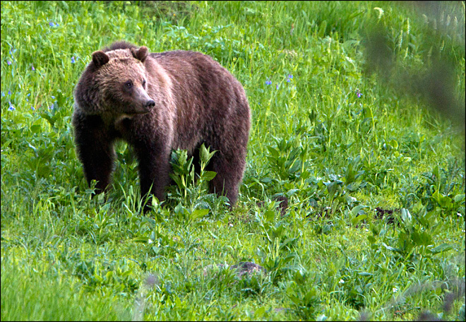 Grizzly bear sightings in Wyoming prompt ban on soft-sided tents