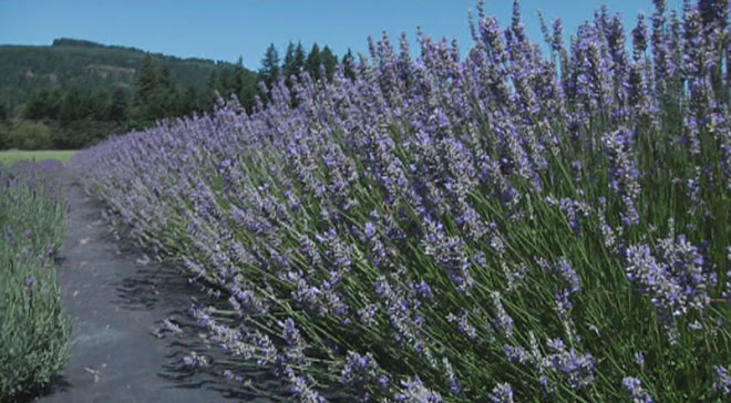 Allure of lavender: Annual festival arrives as plants peak