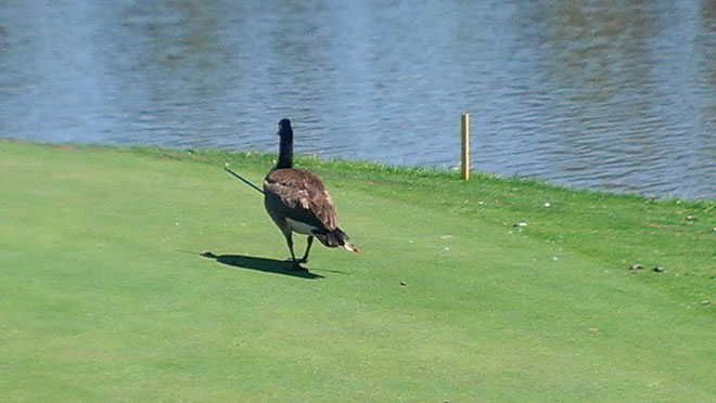 Goose impaled by arrow roams golf course