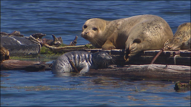 Good news for seal pup feared starving, the little tike gets a meal