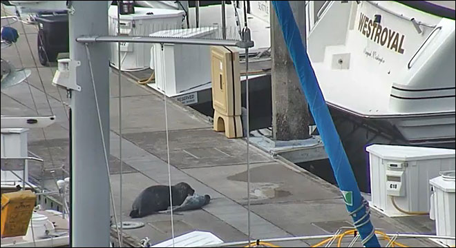 Caught on camera: Momma seal gives birth at marina