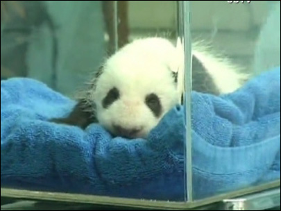 Baby panda gets a checkup in China