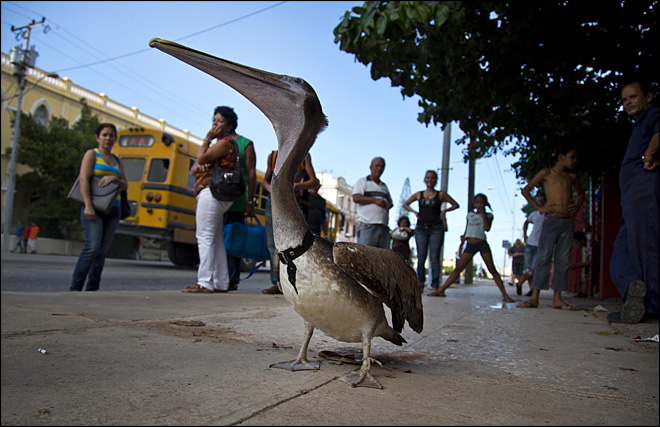 Pancho the Pelican an urban celebrity in Havana