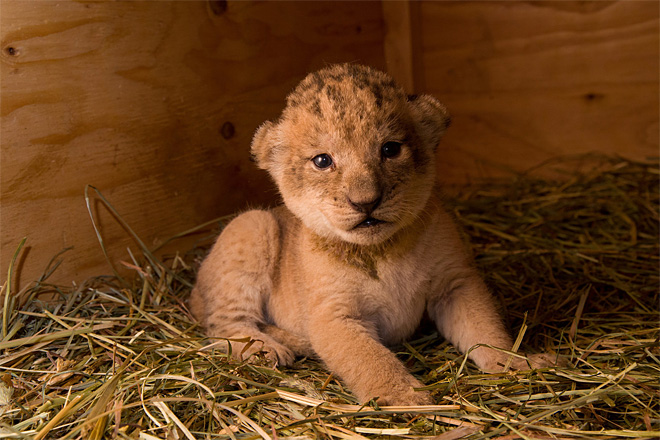 Zoo's lion cubs get first exam, all three are girls