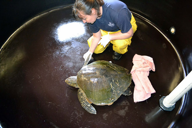Rescued sea turtle named 'Furlough' passes away