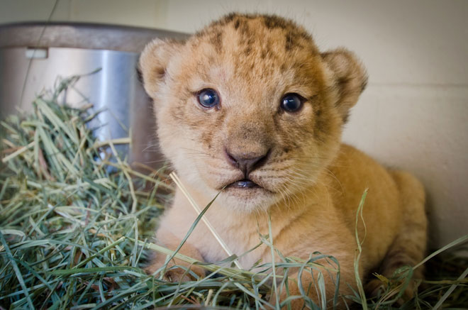 Zoo's smallest cub is out of intensive care and back with her family