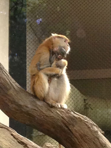 Viewer: Baby patas monkey born at Zoo Boise