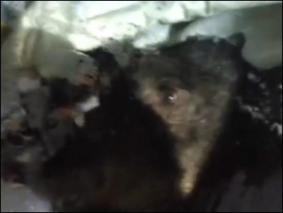 Bear gets trapped in car in California