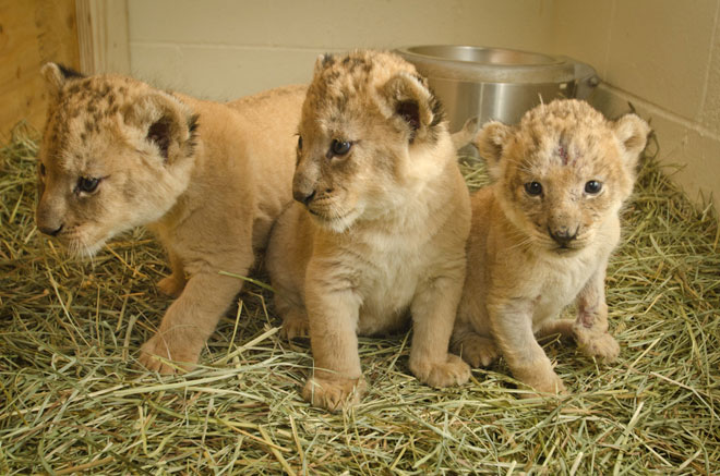 Help the zoo name Neka's lion cubs