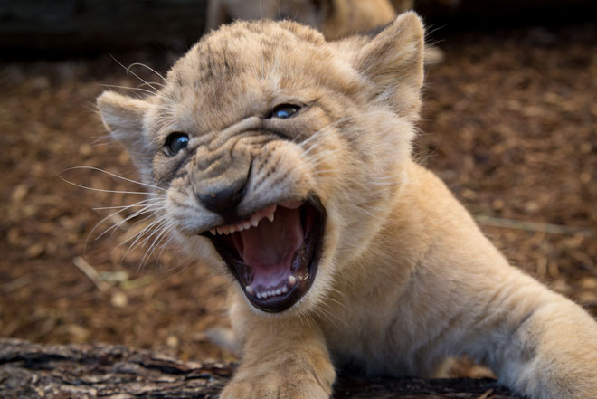 The votes are in: Zoo's lion cubs get their names