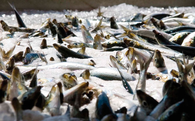 Groups want to halt West Coast sardine fishing