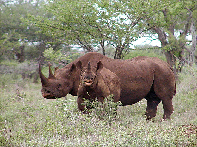 Texas club auctions chance to hunt endangered rhino