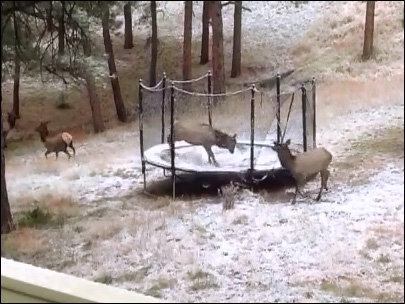 Elk does its best impression of a kangaroo