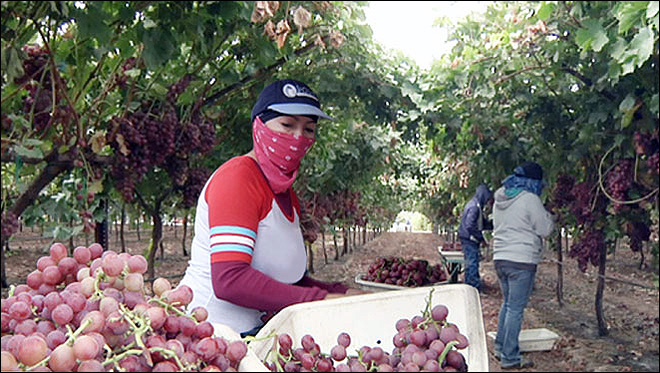 California's new drought: labor shortage in the fields