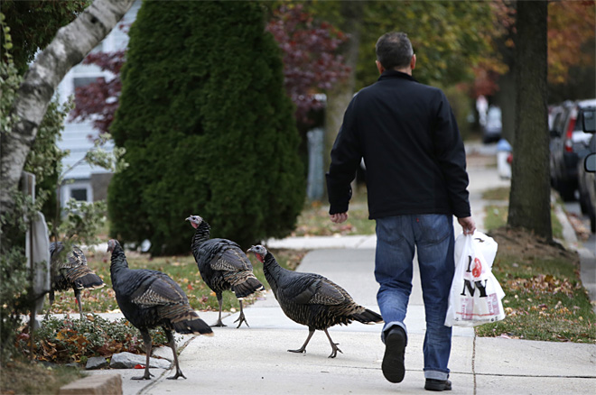 Urban Turkeys
