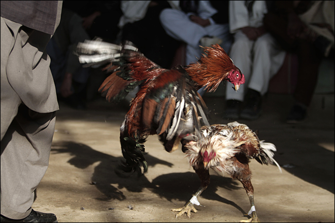 APTOPIX Afghanistan Cockfighting