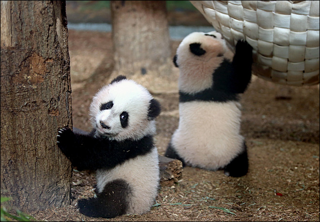 3 young pandas at Atlanta zoo are girls, not boys