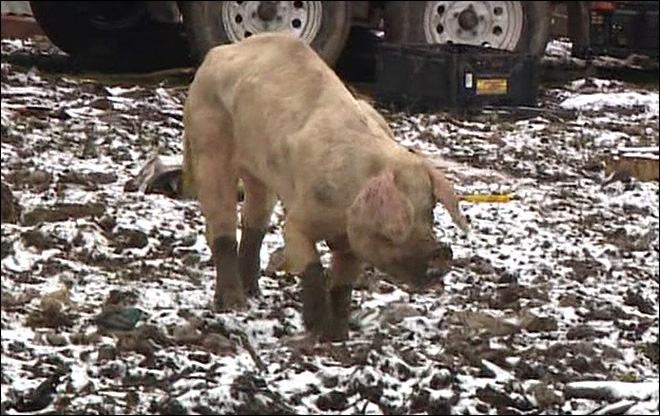 Dead and dying pigs found in raid on abandoned Washington farm