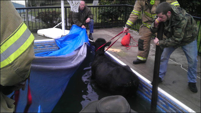 Fire department rescues cow from McMinnville swimming pool