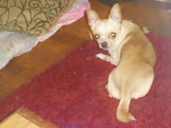 missing chihuahua