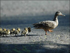 Driver stops to help ducklings, gets ticket