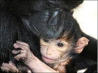 Cute Alert: Zoo Boise welcomes baby mangabey monkey