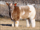 Fluffy cows raising the 'steaks' on livestock breeding