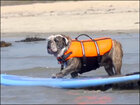 Watch: Surfing bulldog has playful beach day