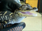 Iowa officials seek sanctuary for 'naughty' baby alligator
