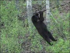 Hungry bear does his best Cirque du Soleil impression