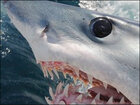 Unusual fishing method catches record-breaking shark