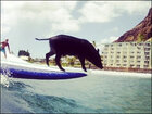 Surfing pig makes waves in Hawaii
