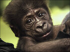Baby ostracized by other gorillas will switch zoos