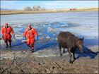 Firefighters rescue cows that took icy dip in pond