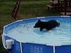 Bear takes a dip in a backyard pool
