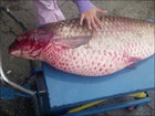 60-pound carp found in ditch