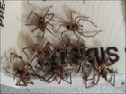 Hobo spiders invade home