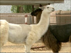 Llamas return home