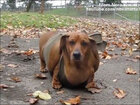 After weight loss, wiener dog 'Obie' gets his own calendar