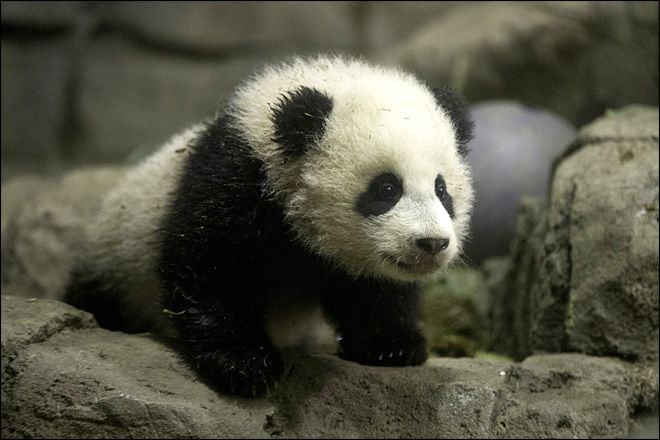 National Zoo prepares panda cub for debut