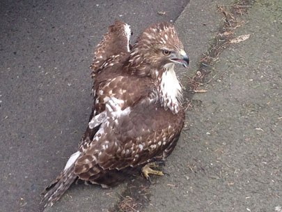Hawk rescued after it gets hit by semi, tangled in mirror