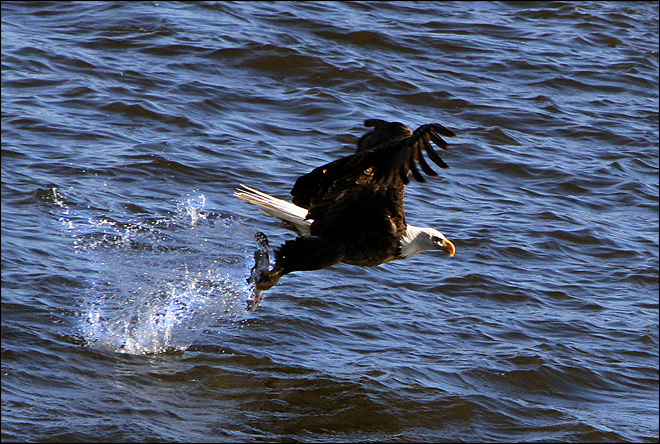 Iowa fish slingshot ensures dramatic eagle photos