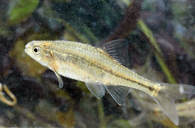 Little fish a big deal: Oregon chub to leave Endangered Species List