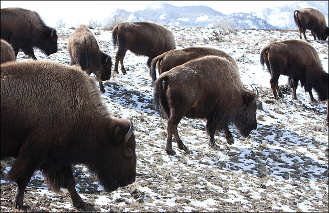 Yellowstone bison slaughter begins