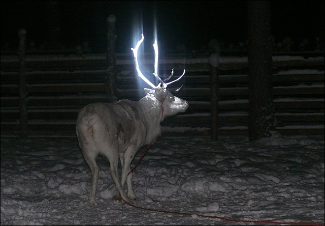 Finns give reindeer fluorescent antler makeovers