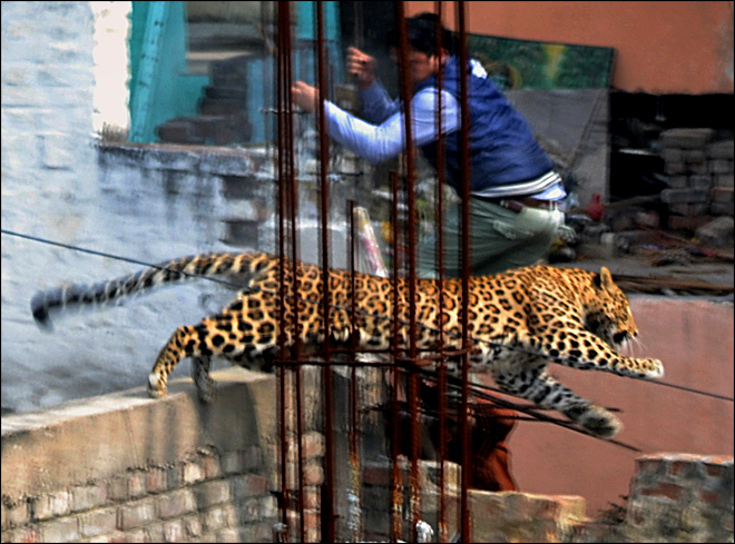 Leopard on the prowl panics bustling Indian city