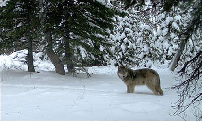 Wandering wolf OR-7 may have a pal in Cascades