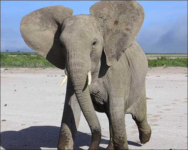 Study: Wild elephants can discern human languages, voices