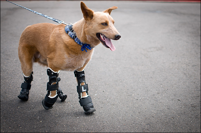 More vets turn to prosthetics to help legless pets